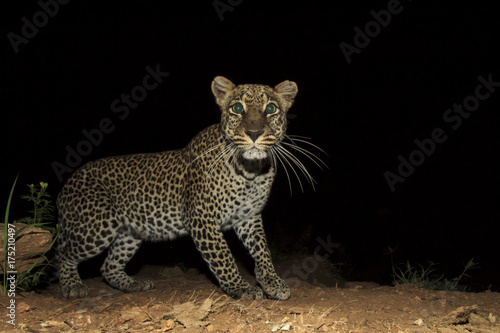 Leopard. Wild African Leopard at night Poster