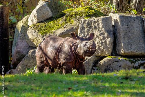 Fotobehang Neushoorn Indisches Panzernashorn - Rhinoceros unicornis - Rhinozeros