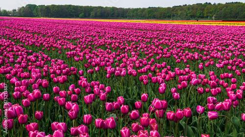 Fotobehang Tulpen Tulipany
