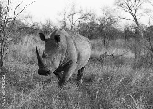 Fotobehang Neushoorn Desert bull