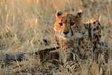Cheetah in Namibia - 175220676