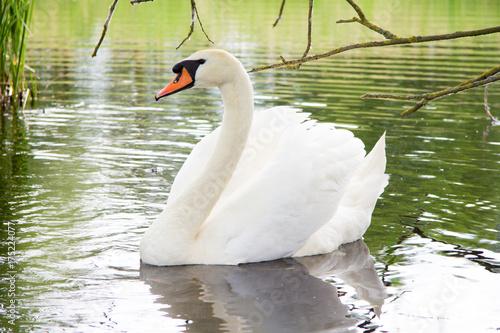 Fotobehang Zwaan a white swan swims on a lake