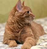 large red cat lying on the couch - 175229498