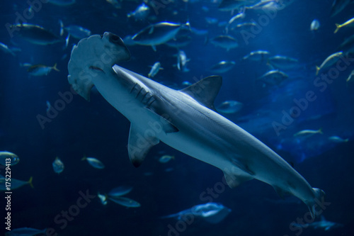 Plakat Red Shark Shark