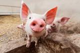 Pig farm - 175230209