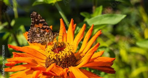 Fotobehang Vlinder painted lady butterfly feeding on a bright orange Zinnia