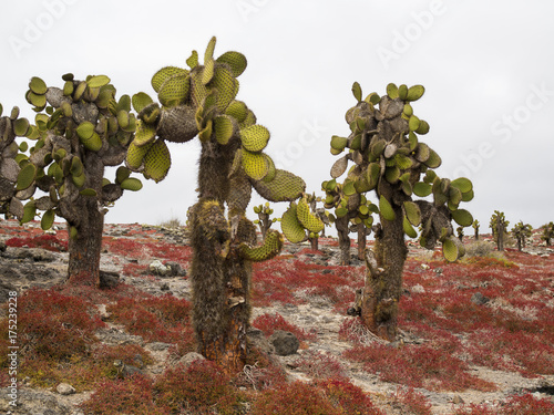 Poster Diepbruine AMAZING CACTUS TREES ON SOUTH PLAZA ISLAND - GALAPAGOS, ECUADOR