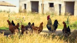 Rooster with chickens on an abandoned farm - 175247429