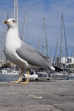 Big seagull in Barcelona harbor - 175248448