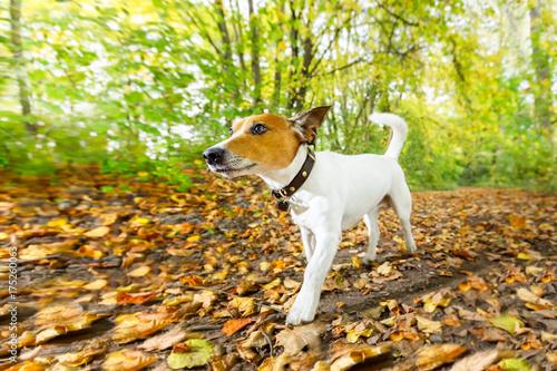 Papiers peints Chien de Crazy dog running or walking in autumn