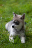 A grey and white miniature husky puppy sitting on green grass - 175260668