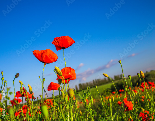 Aluminium Klaprozen Field of poppies on a sunset