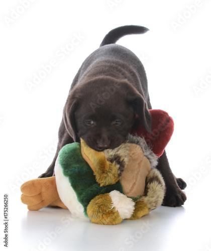 female labrador retriever with stuffed bird