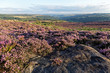 Colorful sunset over the moors with heather in bloom