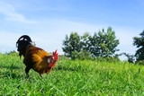 Beautiful Rooster (cock) on nature background, farm animals - 175270230