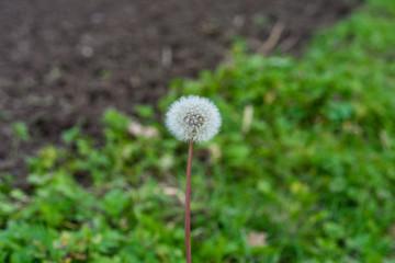 dandelion Taraxacum sect. Ruderalia Cichorieae flower in garden in front of meadow and earth