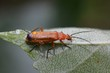 Commen red soldier beetle