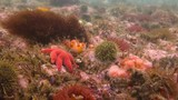 Увлекательные подводные погружения в Тихом океане у полуострова Камчатка. - 175274010