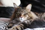 Maine Coom gato felino - 175281266