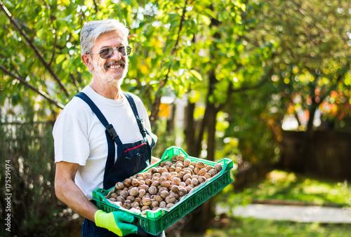 Poster Senior holding box full of walnuts
