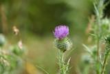 Fleur de chardon . - 175292216