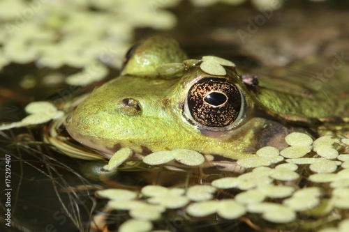 Aluminium Kikker Green Frog In A Pond