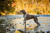 German Shorthaired Pointer, pointing in a fall water scene - 175293687