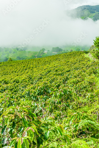 Keuken foto achterwand Lime groen Coffee Plantation in Jerico / Colombia