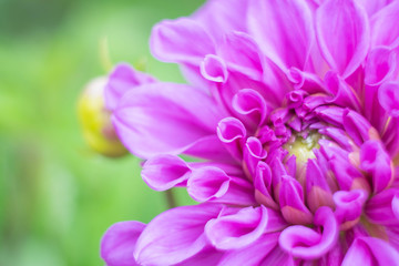 Beautiful violet of purple Dahlia in garden , close up and soft  focus