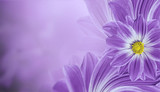 Floral  violet beautiful background.  Flower composition  of   flowers daisy.  Place for text.  Nature.