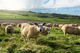 moutons en pâture - 175312686