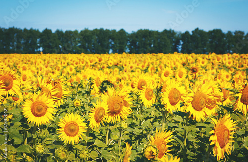 Fotobehang Geel field of sunflowers