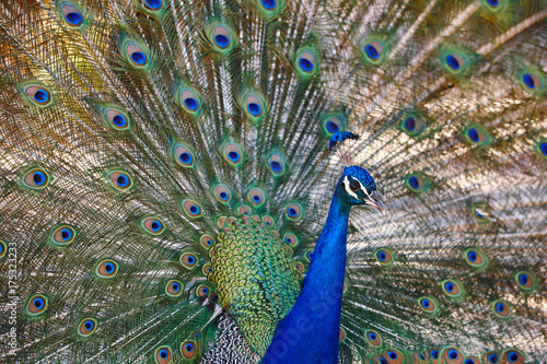 Peacock with colorful spread feathers. Animal background. Poster