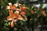 Orchid Flower Close Up - 175324002