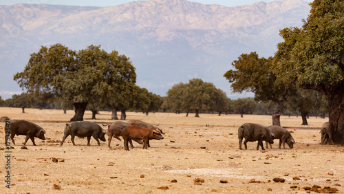 Poster Natuur Iberian pigs grazing among the oaks