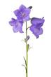 four bellflower violet blooms on long stem