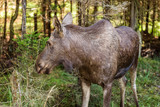 Young moose (Alces alces) standing in dense spruce forest. - 175344663
