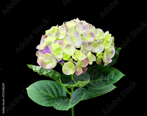 Fotobehang Hydrangea Hydrangea isolated on a black background with clipping path.