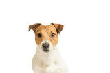 Purebred Jack Russell Terrier dog puppy headshot isolated on white background - 175358027