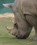 White Rhinoceros (Ceratotherium Simum) (2) - 175361690