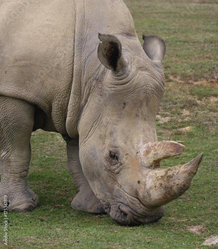 Fotobehang Neushoorn White Rhinoceros (Ceratotherium Simum) (4)