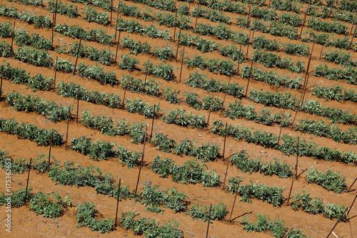 Fotobehang Cyprus Potato field agriculture landscape
