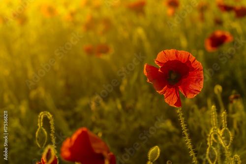 single poppy ot colorful background