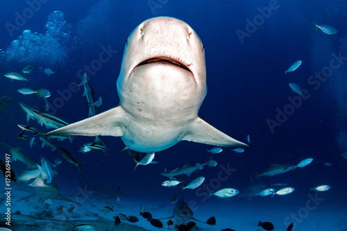 bull shark while ready to attack while feeding