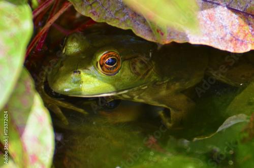 Fotobehang Kikker Green Frog Peeking