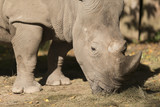 Rhino 2 - 175390671