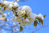 Apple-tree flowers covered with snow - 175391877