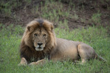 Lion(Panthera leo) - 175392686