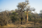 Stately African giraffe under tree in early morning - 175394060