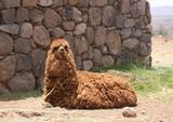 Furry alpaca laying on the ground - 175401871